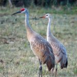 Male and female Sandhill cranes standing beside each other