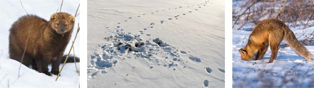 from left to right: the elusive fisher and its paw prints ; traces of a fox attack on a mouse; fox sniffing out rodents