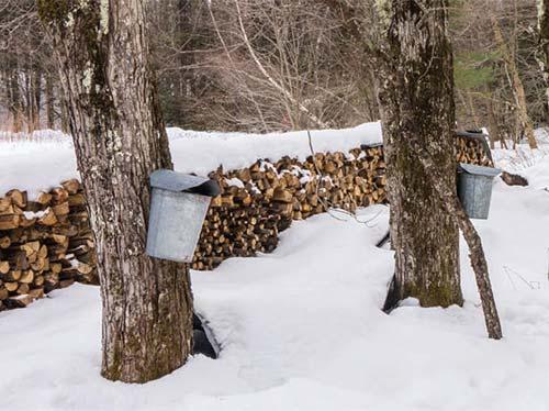 Backyard Sugaring - Maple tress with taps